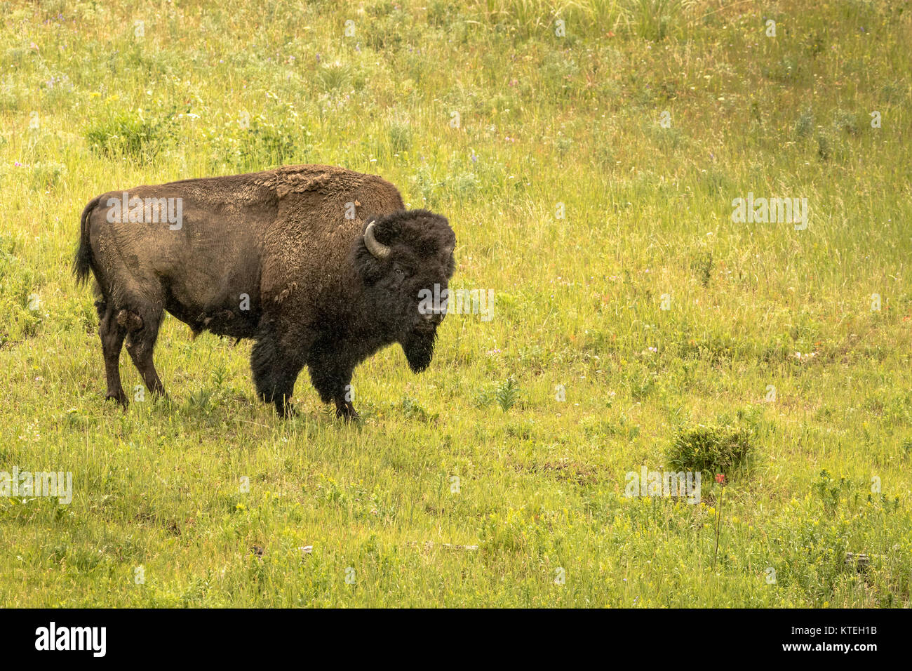 American Bison in Yellowstone National Park. - Stock Image