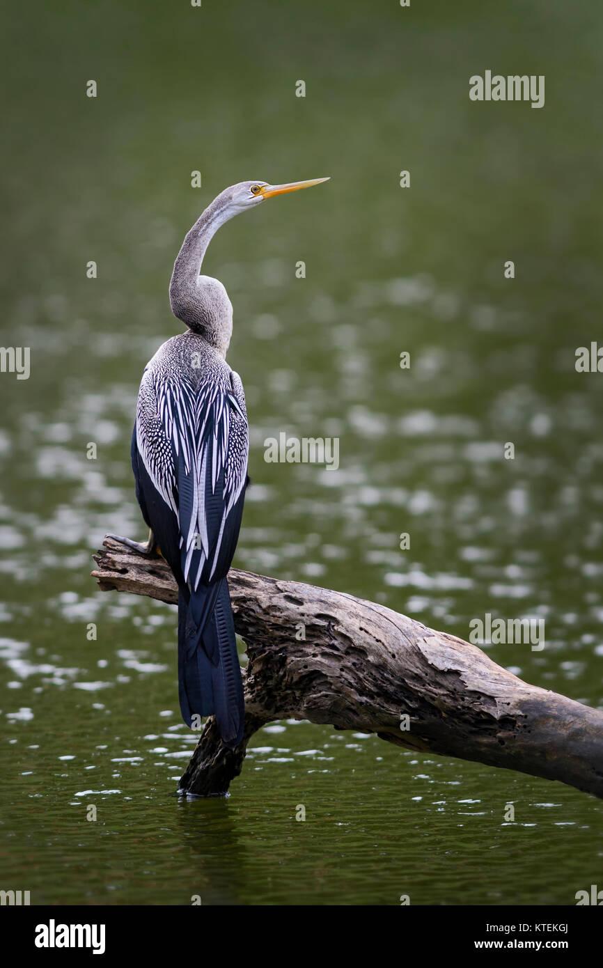Oriental Darter - Anhinga melanogaster fishing in the lake, Sri Lanka - Stock Image