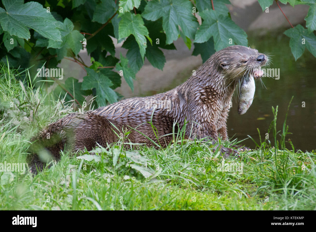 Otter eating a fish Oriental, Short, Clawed, Otters, Aonyx, cinerea, animal, asian, bite, bites, biting, mammal, - Stock Image