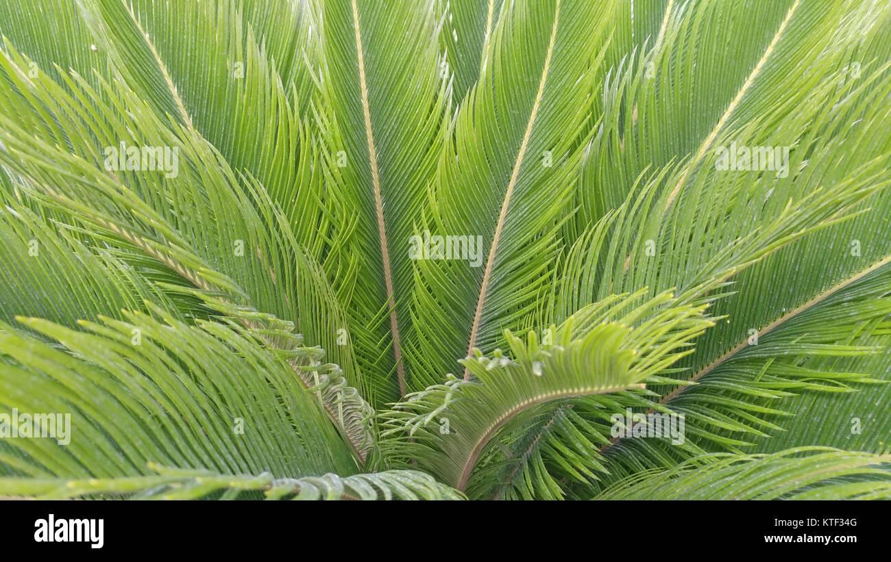 Cycas revoluta,sago palm, king sago, sago cycad,sago palm leaves. - Stock Image