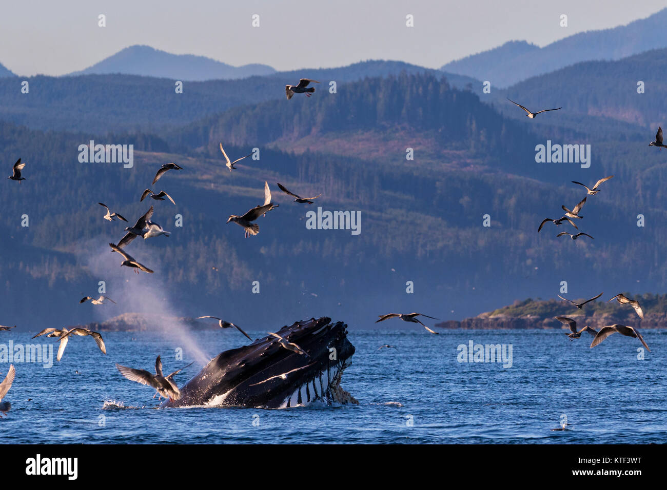 Humpback whale (Megaptera novaeangliae) lunge feeding with mouth wide open in Broughton Archipelago Provincial Marine - Stock Image