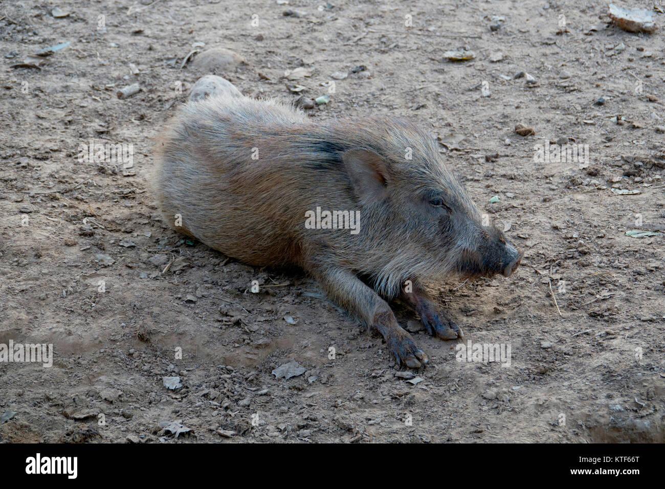 Indian boar (Sus scrofa cristatus) - Stock Image