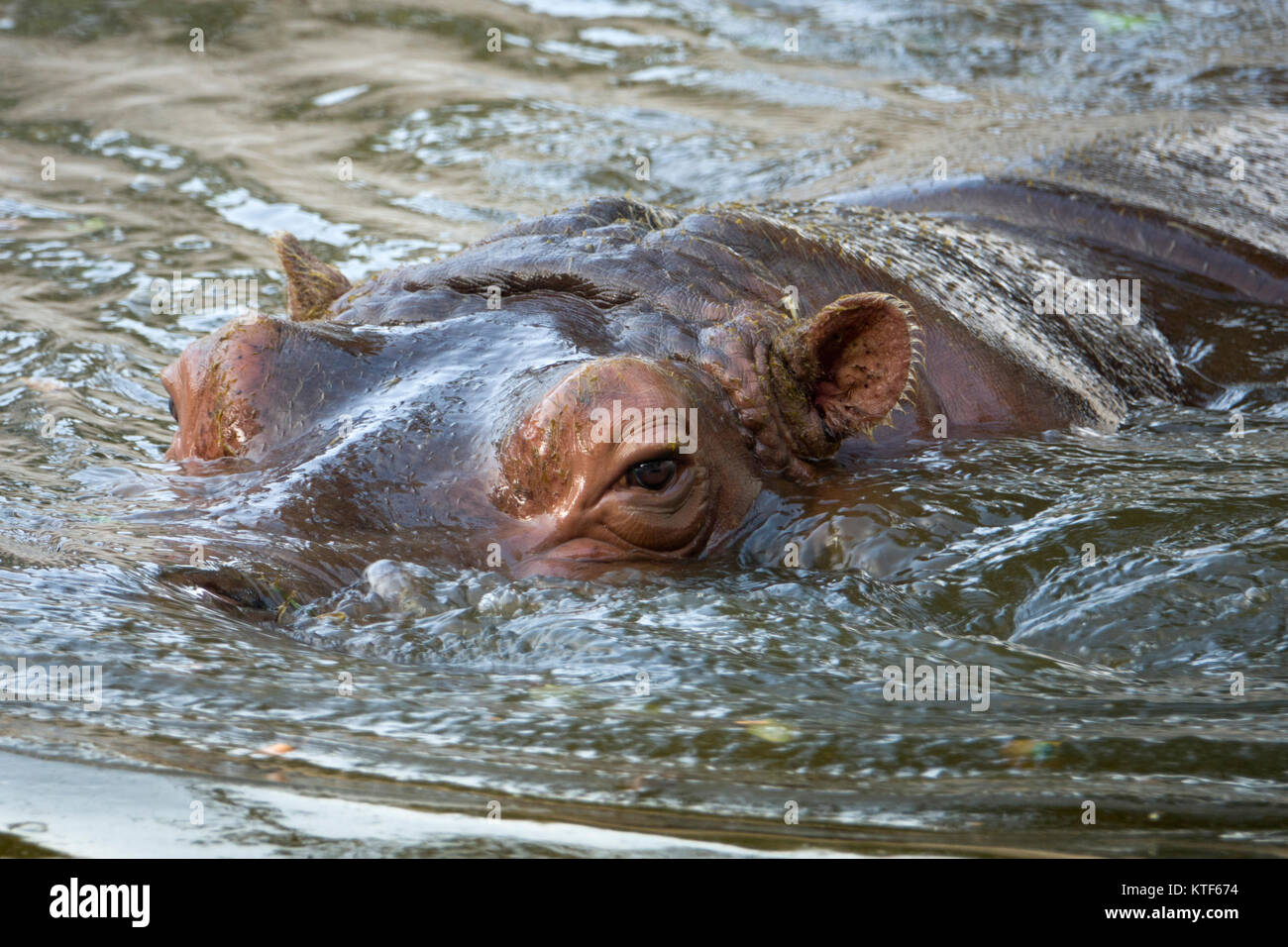 Hippopotamus (Hippo) bathing in water closeup view - Stock Image