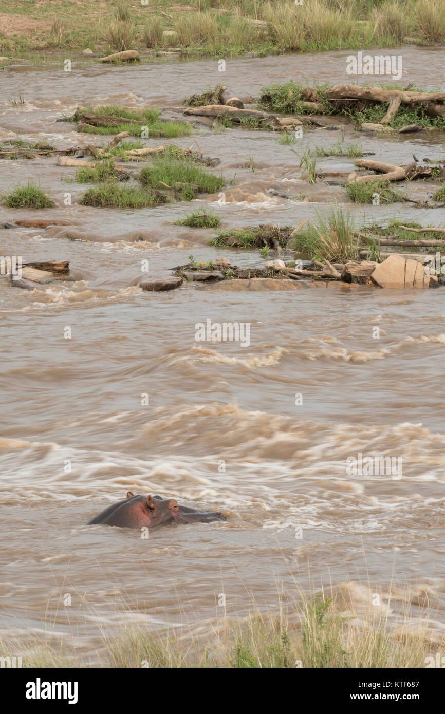 Hippopotamus in running water in the masai mara - Stock Image