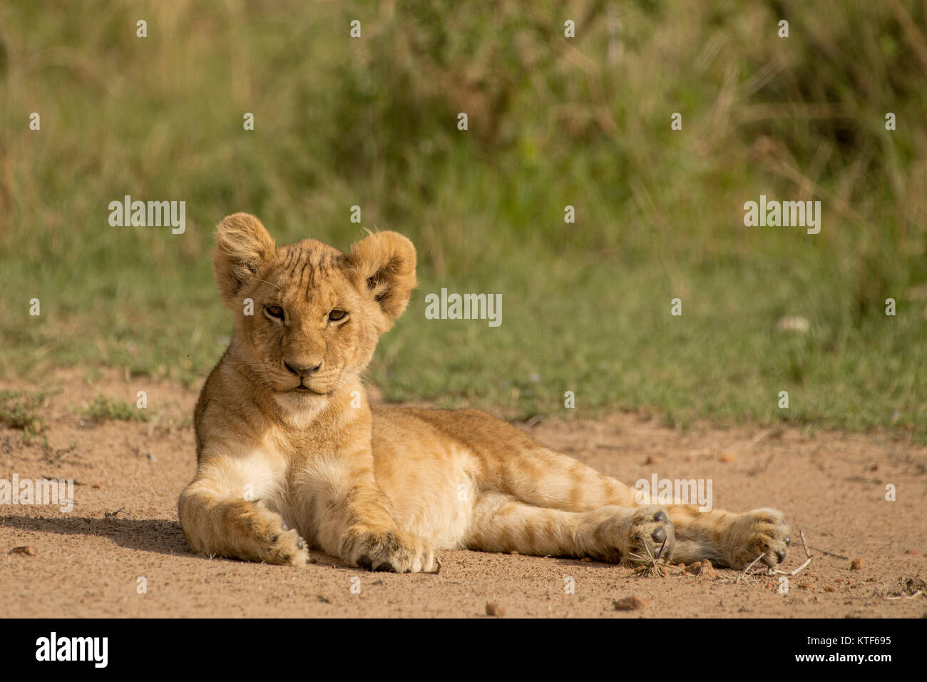 Young male lion (Panthera leo) cub lying on sandy patch and staring ahead. - Stock Image