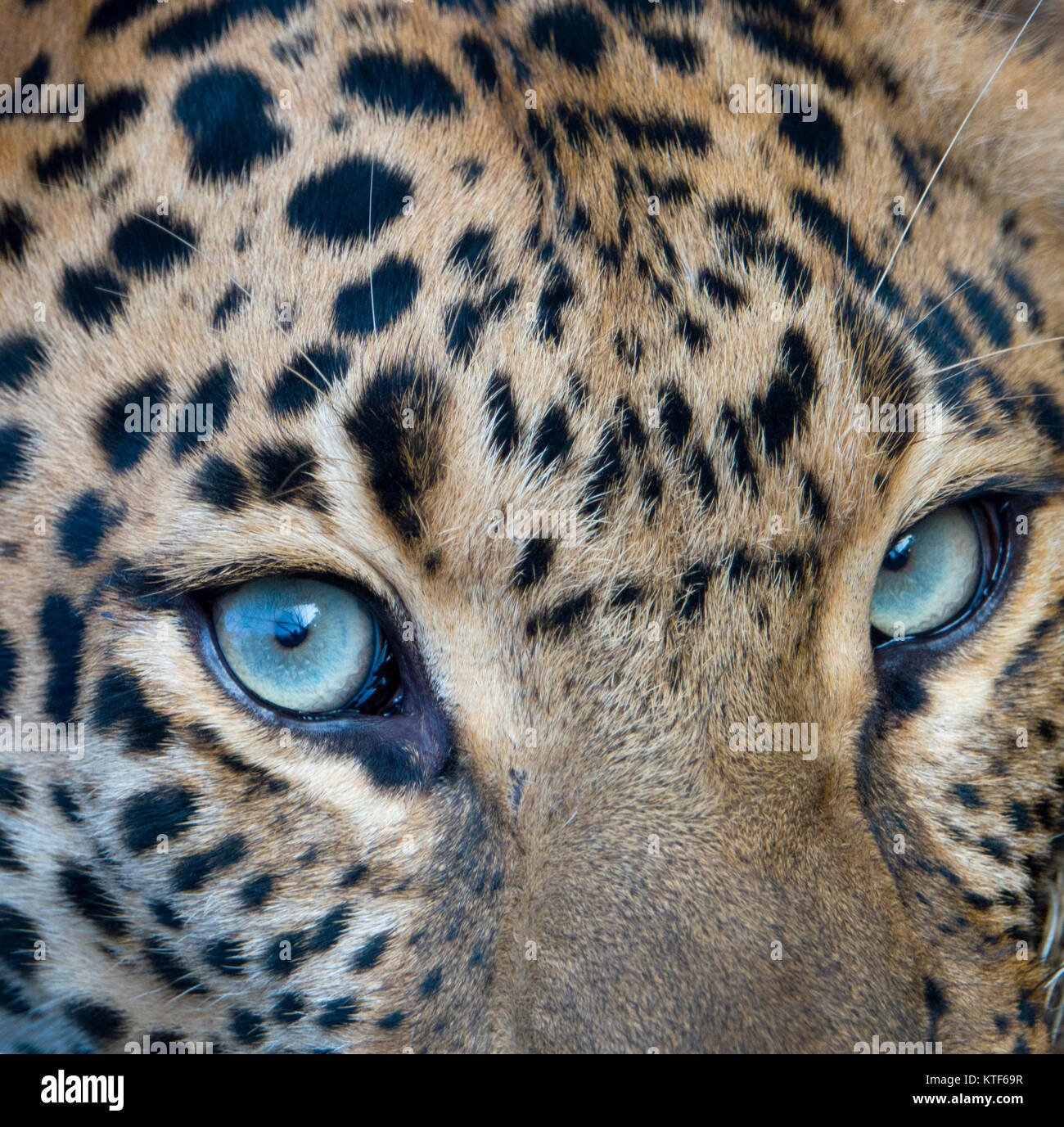 Closeup portrait of Indian leopard (Panthera pardus fusca) - Stock Image