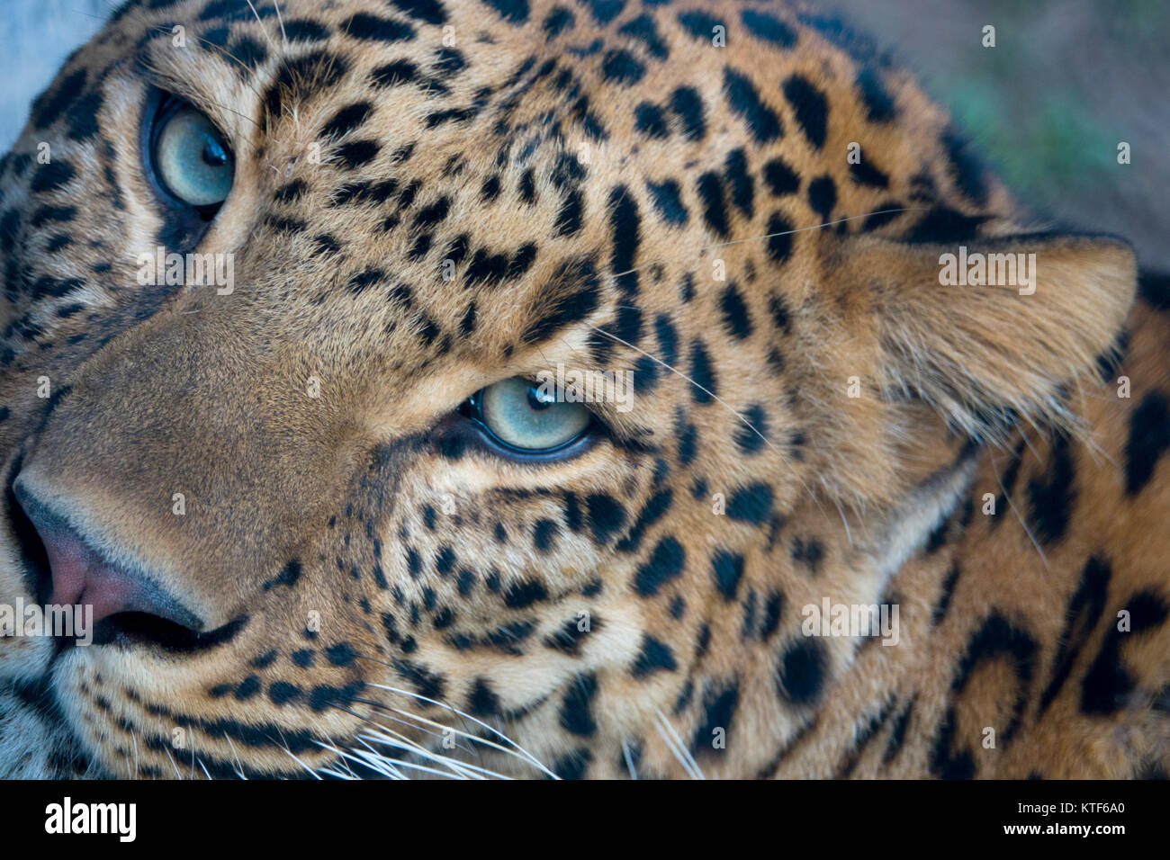 Closeup portrait of Indian leopard (Panthera pardus fusca) Stock Photo
