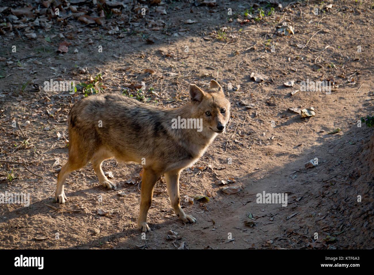 Indian wolf (Canis lupus pallipes) at Chhatbir Zoo, Punjab,India - Stock Image