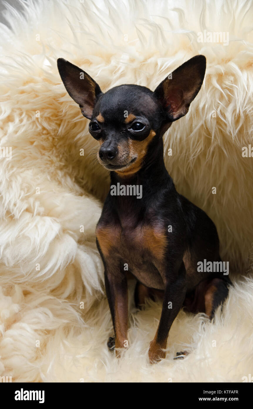 dog lilly a tea cup chihuahua pincher stock photo 169982619 alamy