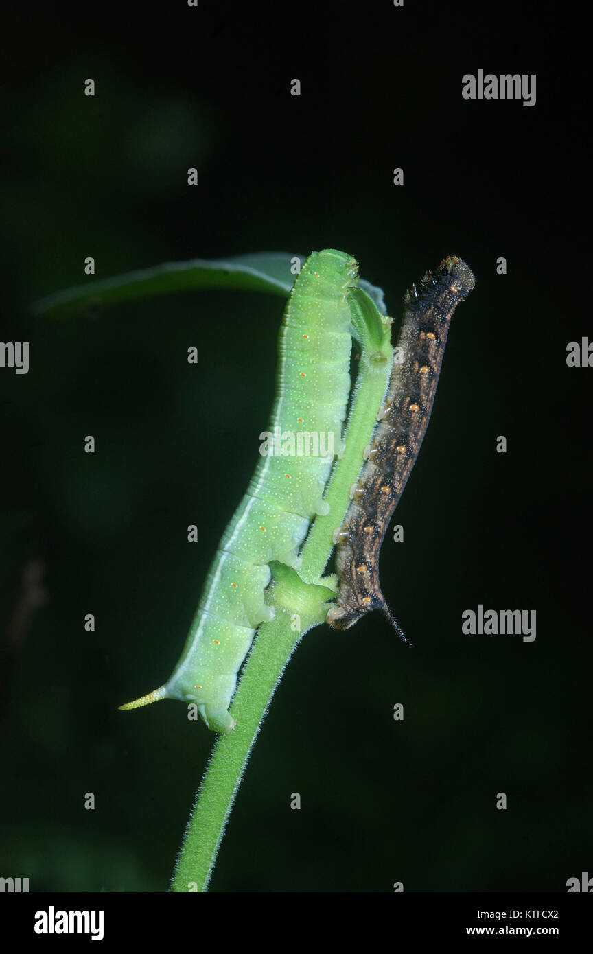 caterpillars fight for space on the same twig in Tamil Nadu, South India. - Stock Image