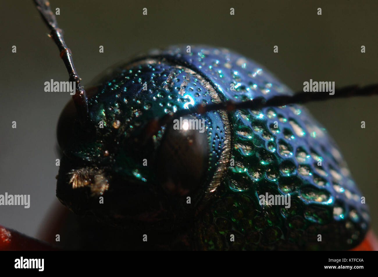Portrait of a jewel beetle from family Buprestidae, possibly Sternocera nitens or S. Brahmina, from Tamil Nadu, - Stock Image