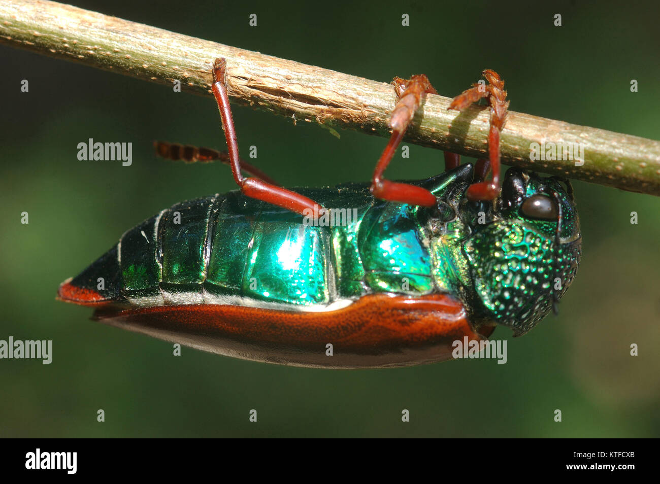 Jewel beetle of family Buprestidae, possibly Sternocera nitens or S. Brahmina,hanging from a twig. From Tamil Nadu, - Stock Image