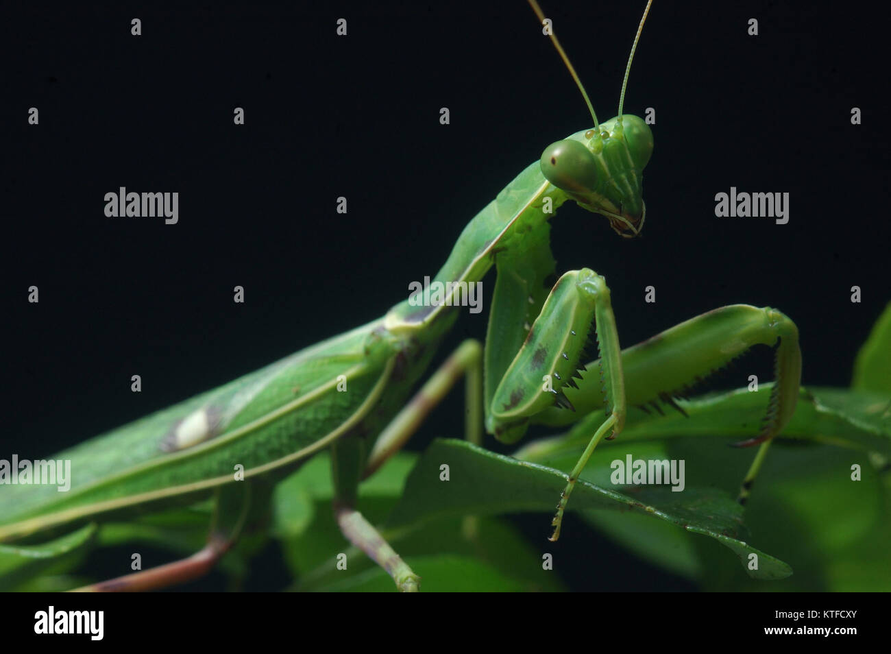 Spotted praying mantis, on leaves in Tamil Nadu, South India - Stock Image