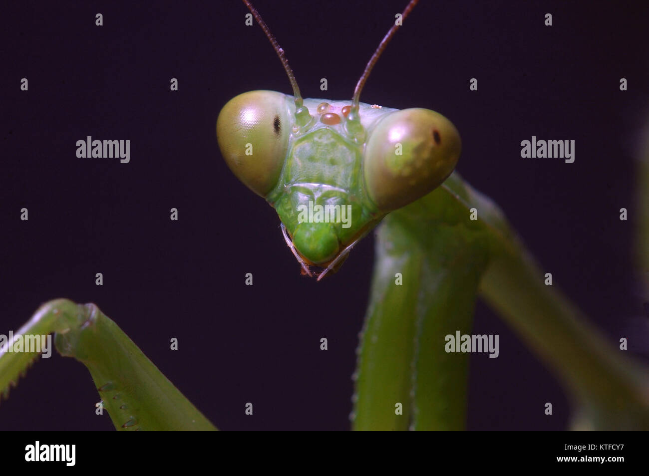 Portrait of Giant Indian Praying mantis, probably Hierodula membranacea or Hierodula grandis, on leaves in Tamil - Stock Image