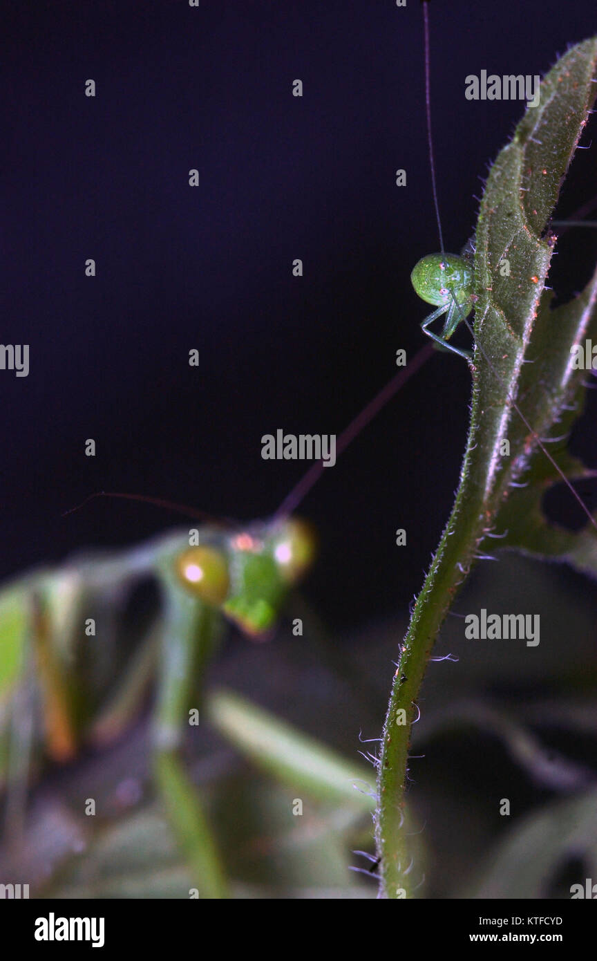 Giant Indian Praying mantis, probably Hierodula membranacea or Hierodula grandis, stalking a grasshopper in Tamil - Stock Image