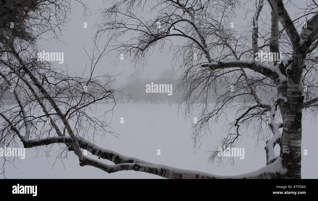 A snowy silver birch stands in stark contrast against a snowy Dow's Lake, Ottawa, Ontario, Canada. - Stock Image
