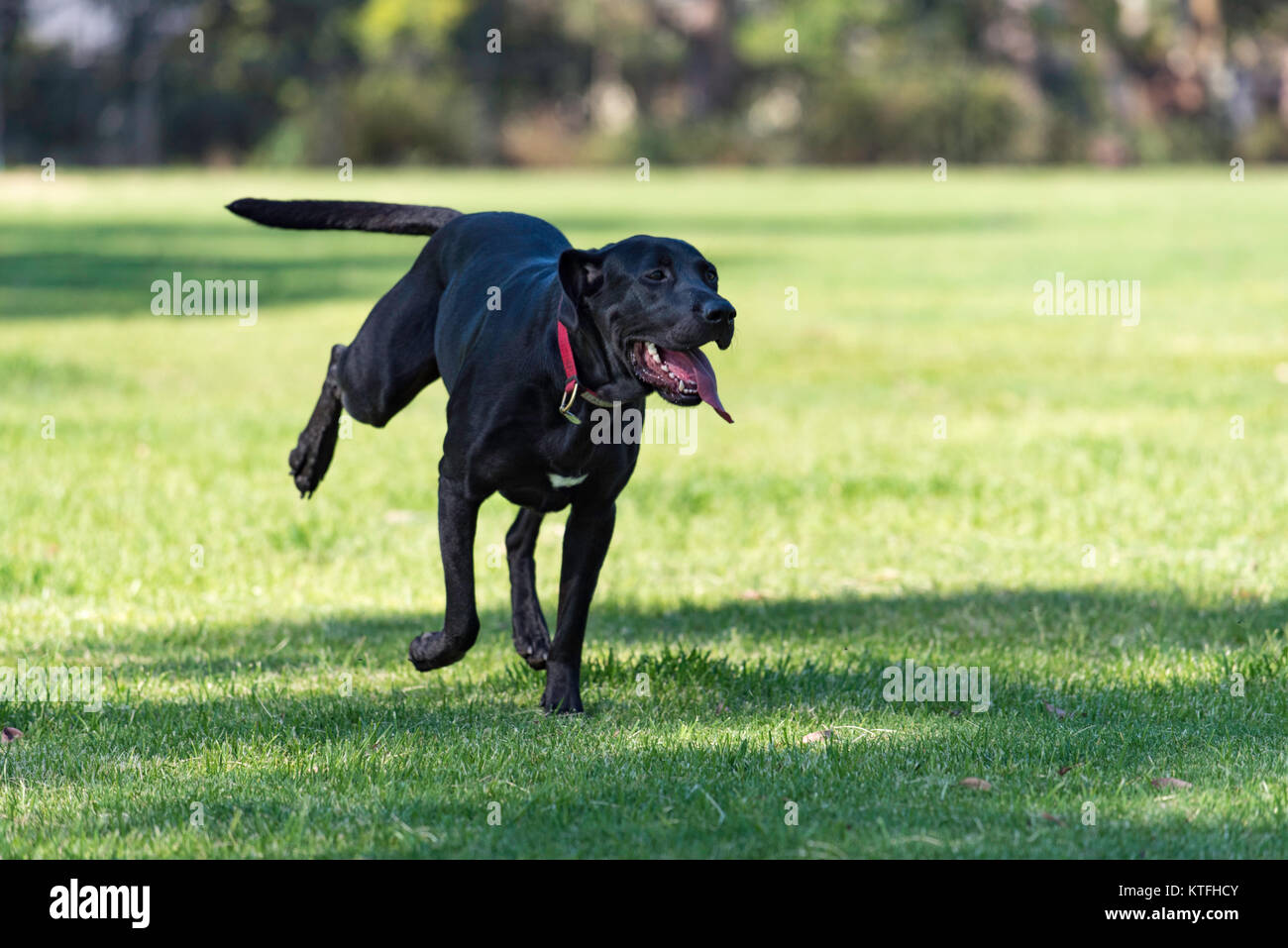 A big black dog happily running in a park in Sydney - Stock Image