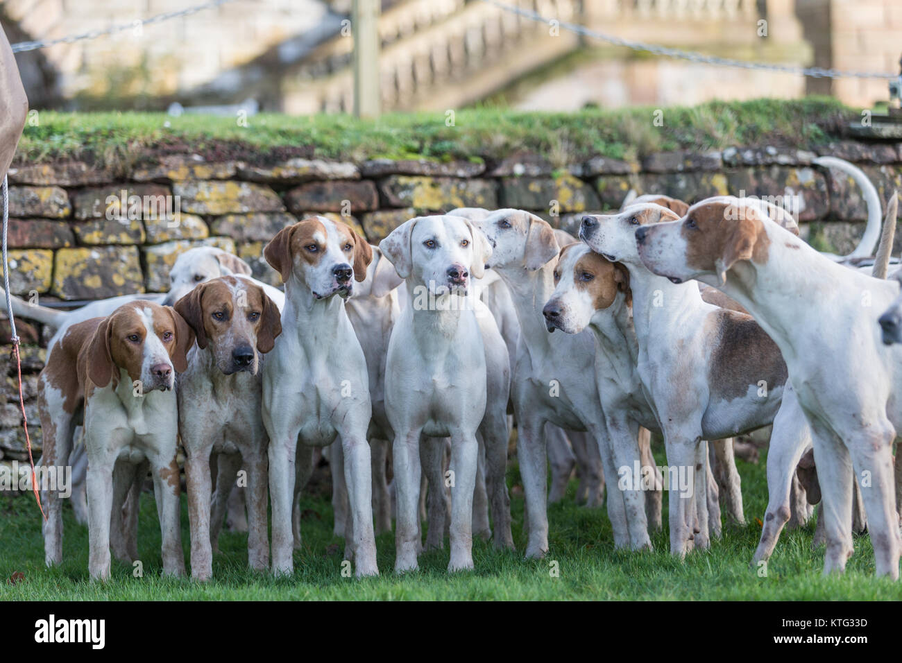 Fox hounds at a British hunt meeting - Stock Image
