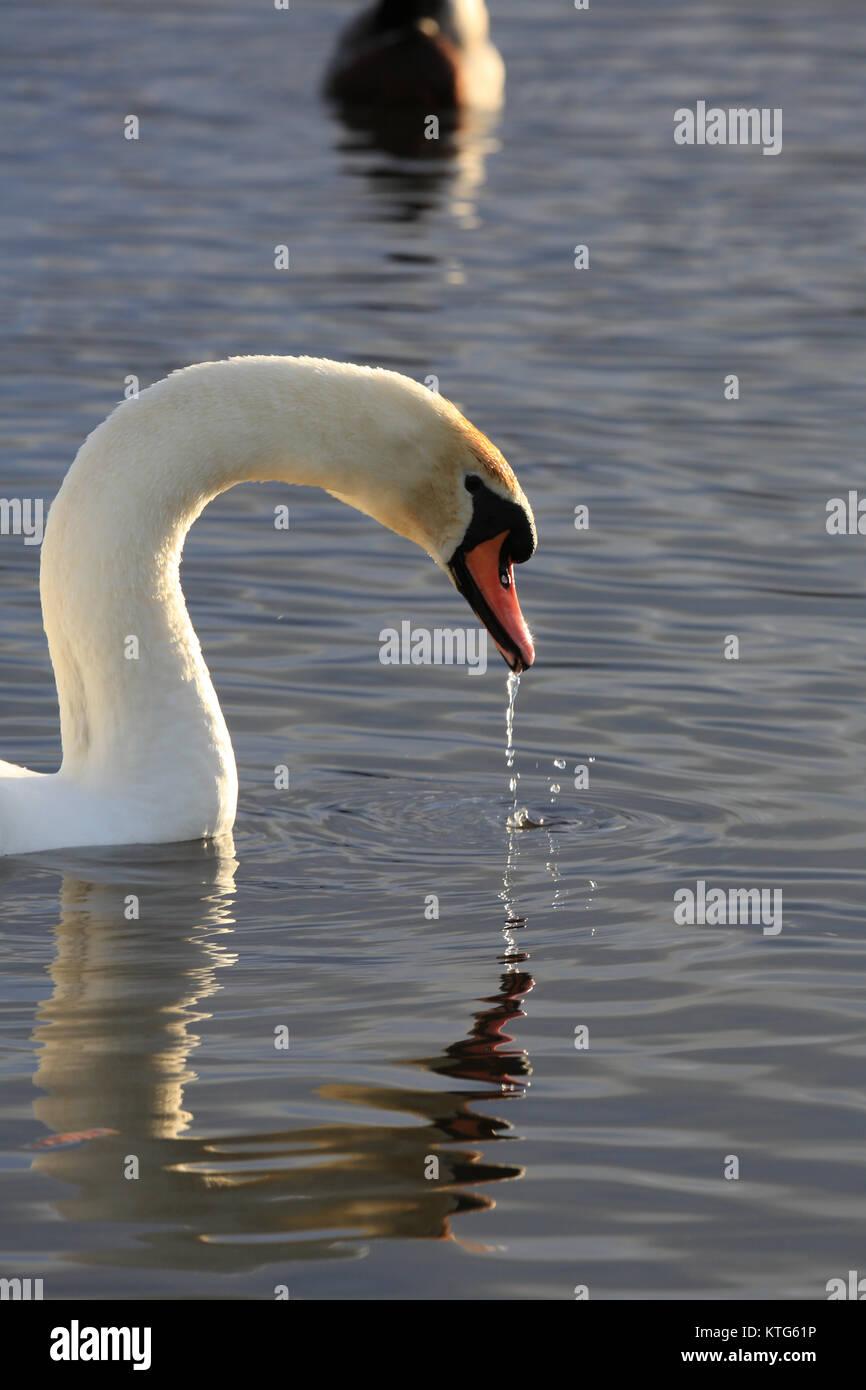 Swan drinking water in Lake in Ireland - Stock Image