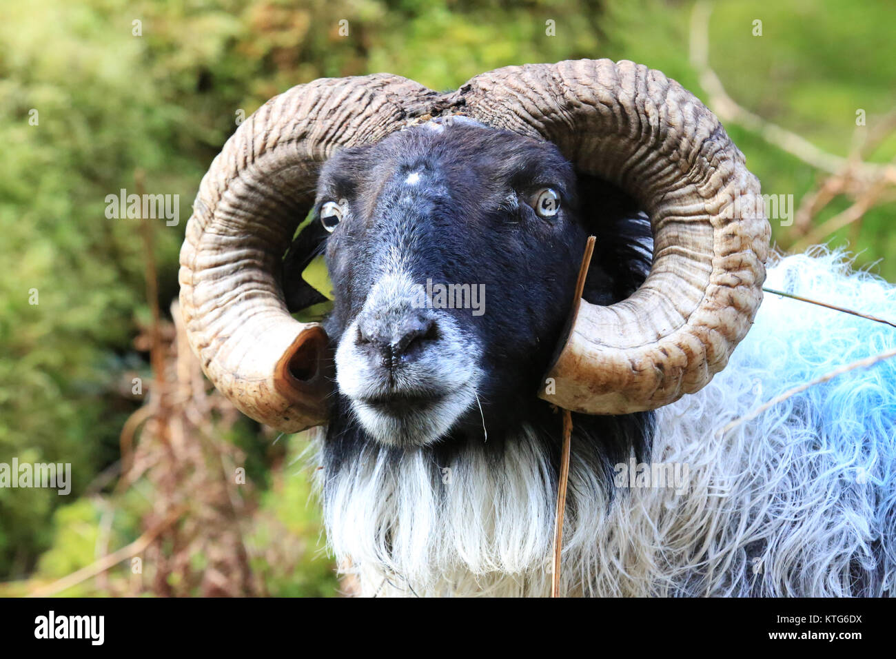 Ram sheep in natural habitat in Ireland - Stock Image