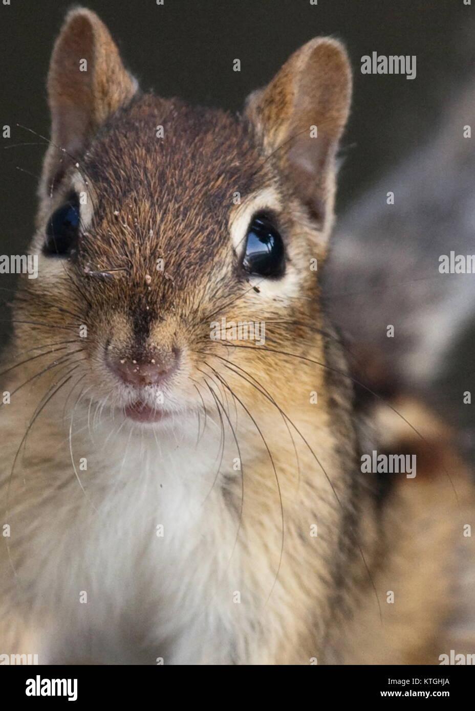 Canadian Chipmunk - Stock Image