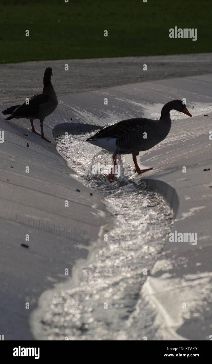 Egyptian Goose (Alopochen aegyptiaca) Crossing the Princess Diana Memorial Fountain, Hyde Park, London, UK. December - Stock Image