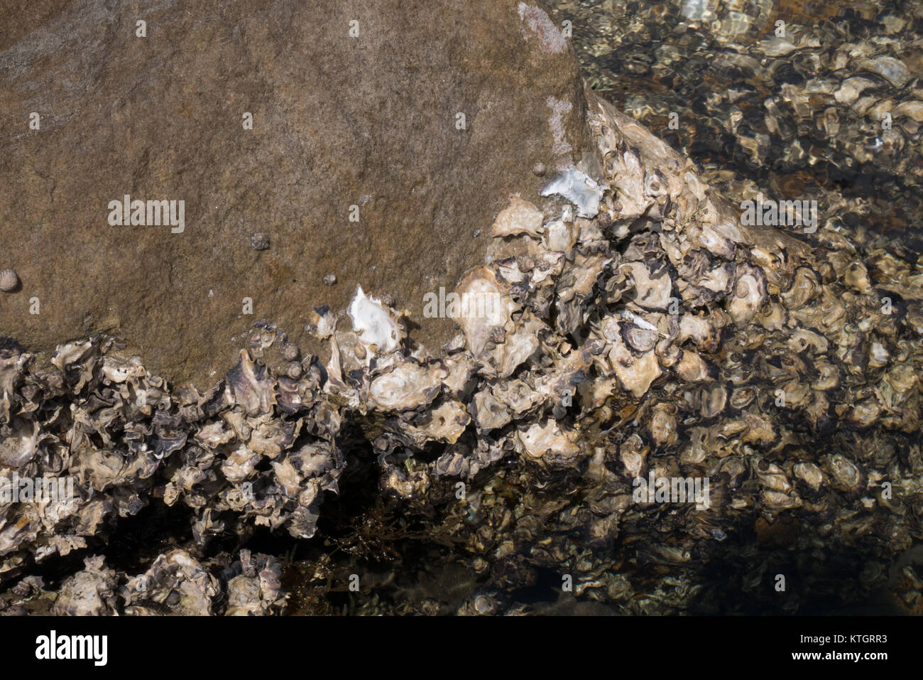 creatures sticking on rocks of a sea shore - Stock Image