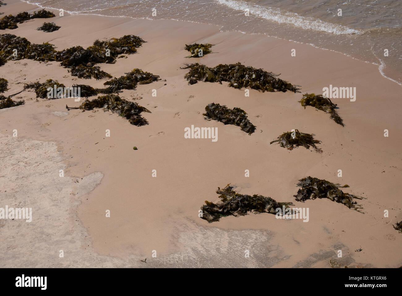seaweeds on beach in sydney australia - Stock Image