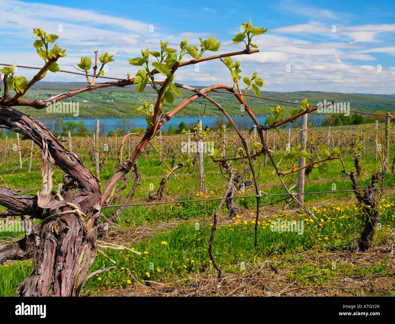 Glenora Wine Cellars Finger Lakes Dundee New York USA & Glenora Wine Cellars Finger Lakes Dundee New York USA Stock ...
