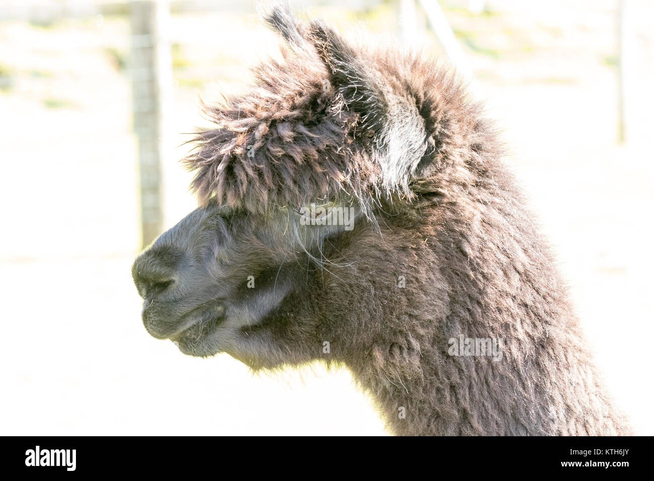 Alpaca Lama Pacos Vicugna Pacos - Stock Image