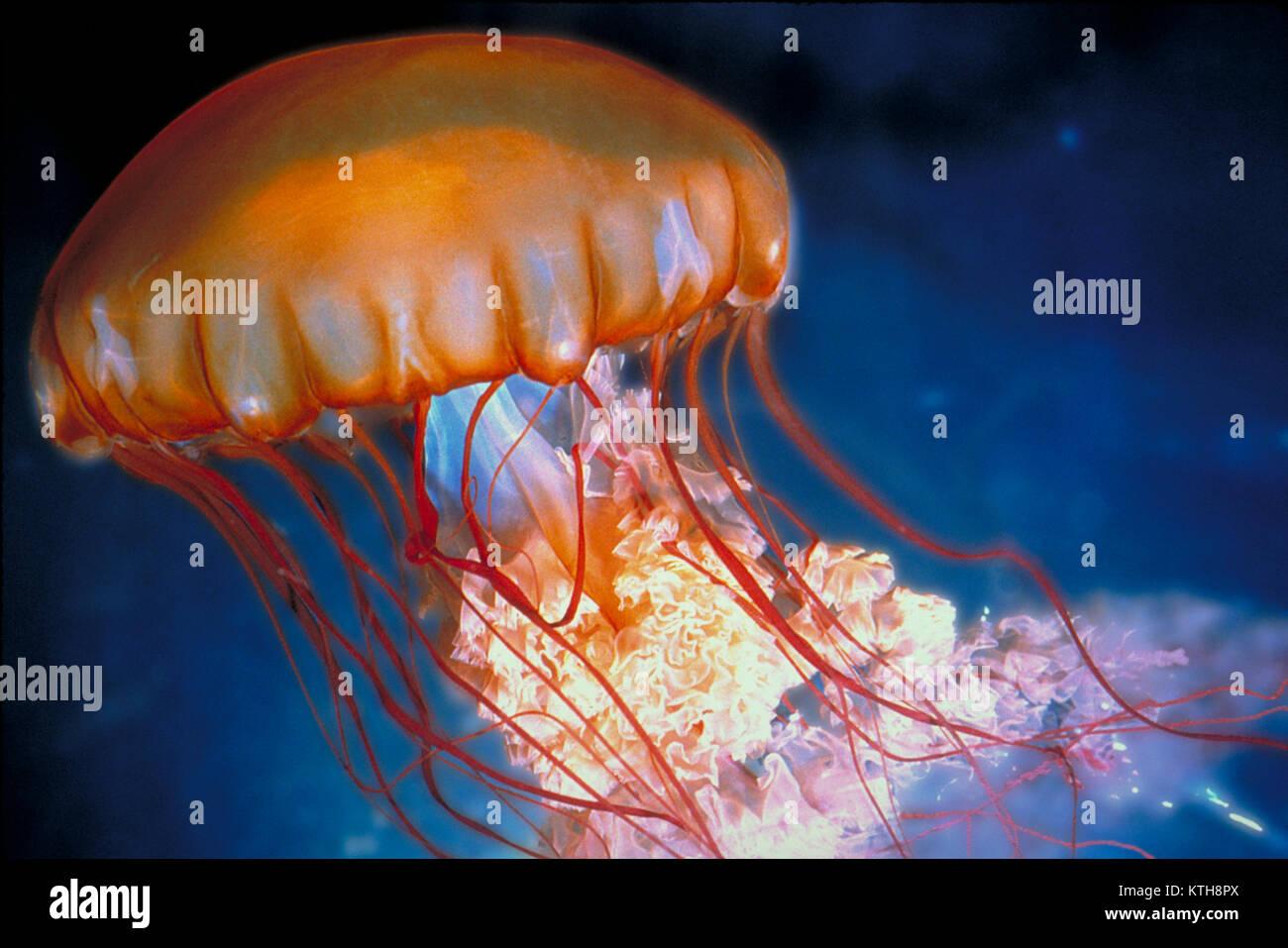 Sea Nettle jellyfish, Chrysaora fuscescens Stock Photo