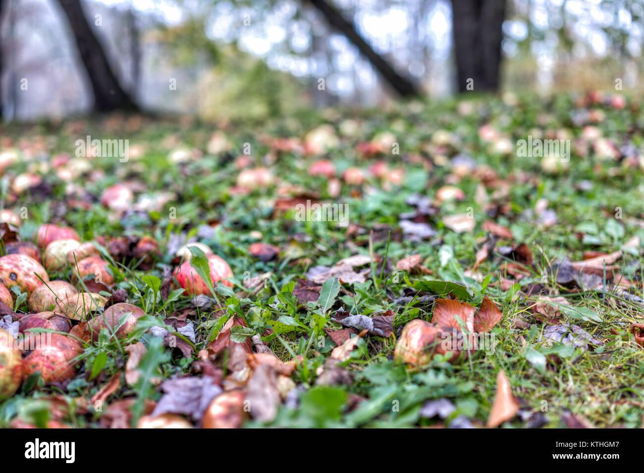 Many fallen wild fresh apples on grass ground bruised on apple picking farm closeup - Stock Image