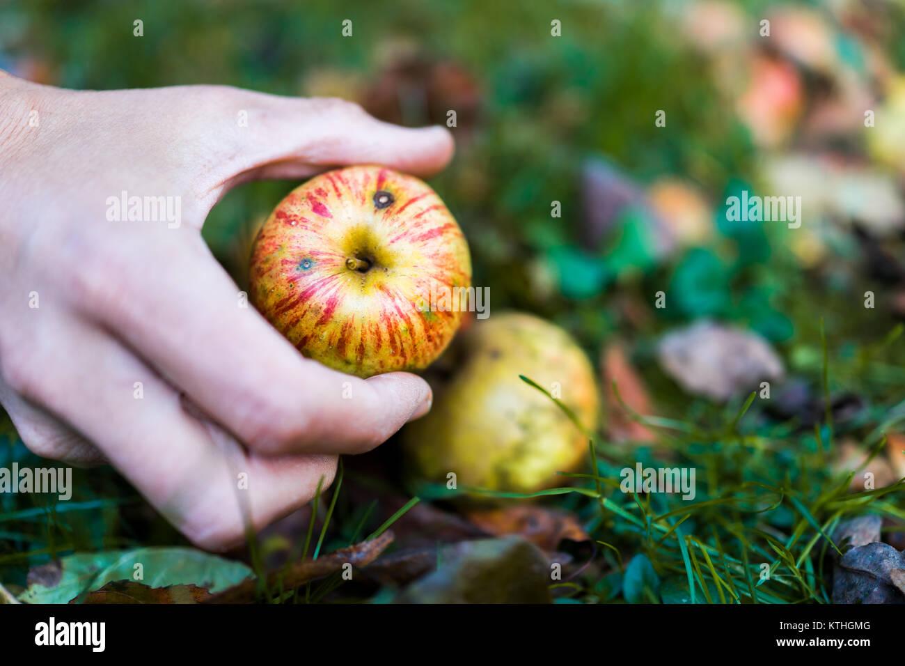 Man hands picking up one apple fallen wild fresh on grass ground bruised on apple picking farm closeup - Stock Image