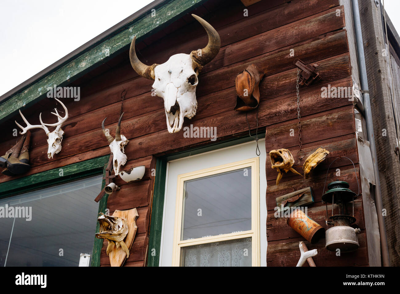 Skulls adorning the walls of a cabin in the remote village of Atlin in northern British Columbia, Canada - Stock Image