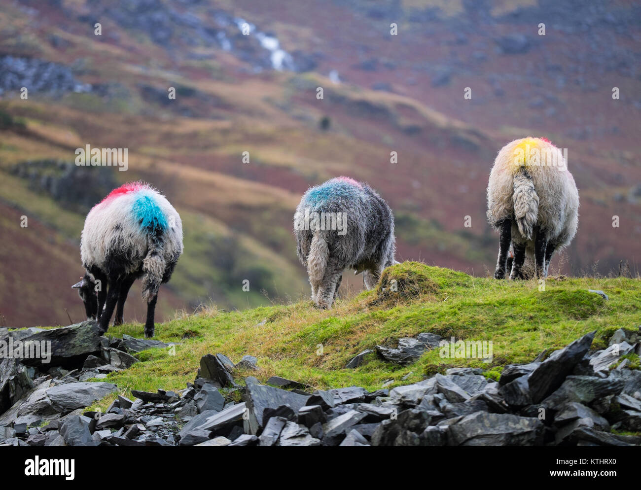 Hardwick sheep grazing at Coniston. Lake District National Park Cumbria England - Stock Image