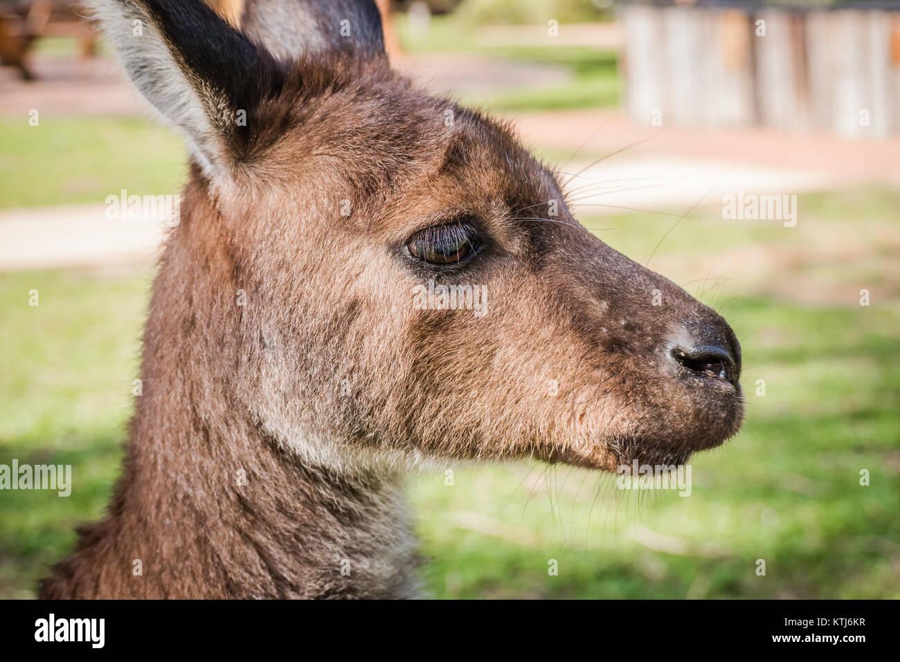 close up kangaroo head - Stock Image