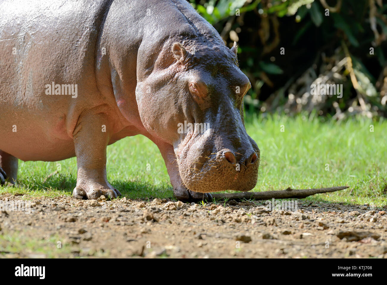 Hippo family (Hippopotamus amphibius) outside the water, Africa - Stock Image