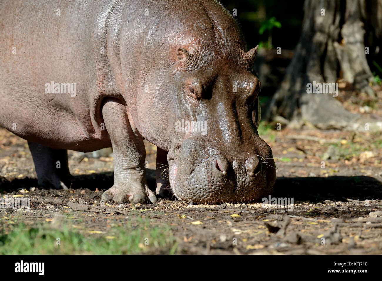 Hippo on lake in Natioanl park of Africa - Stock Image