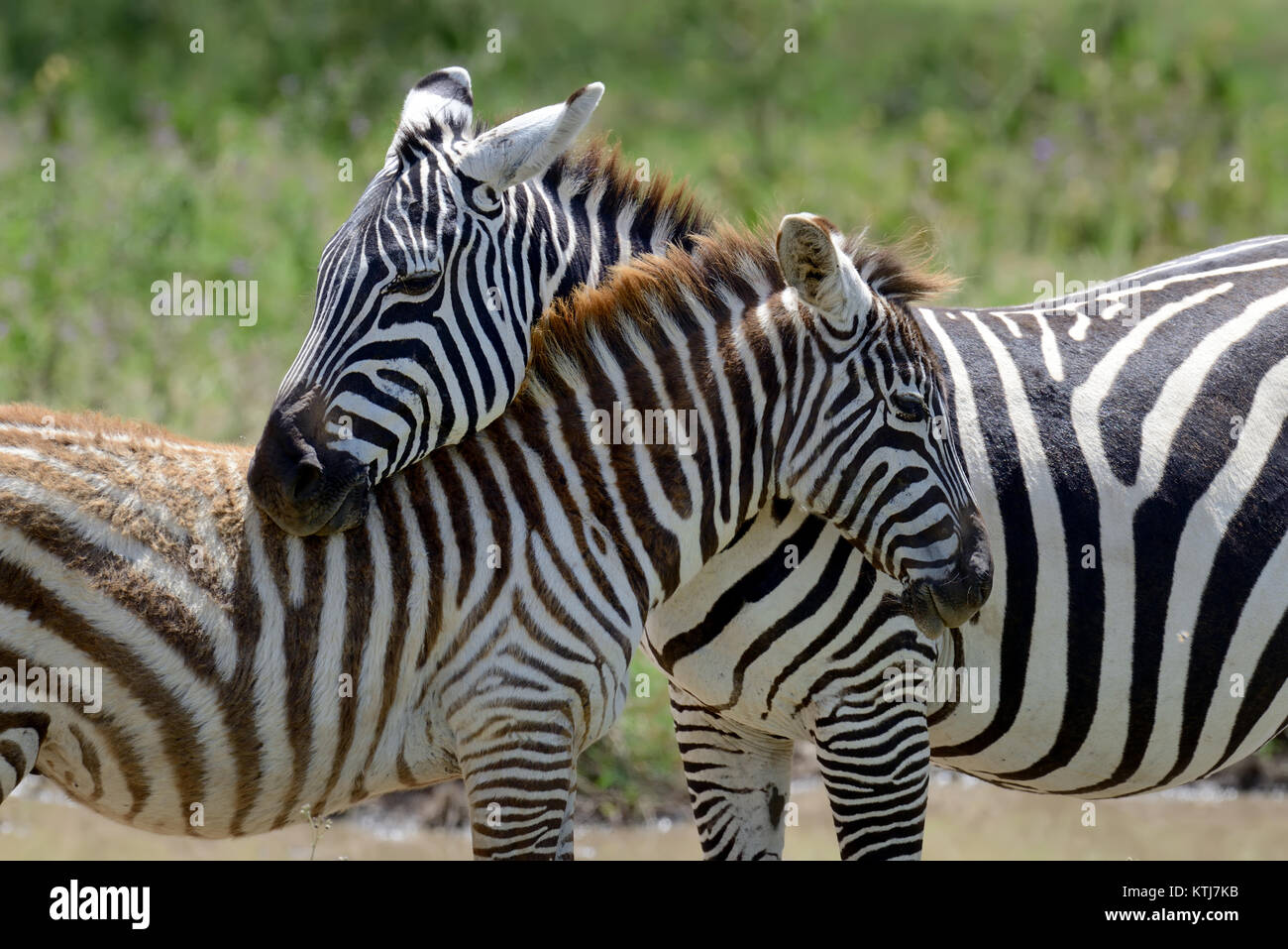 Zebra on grassland in National park of Africa - Stock Image