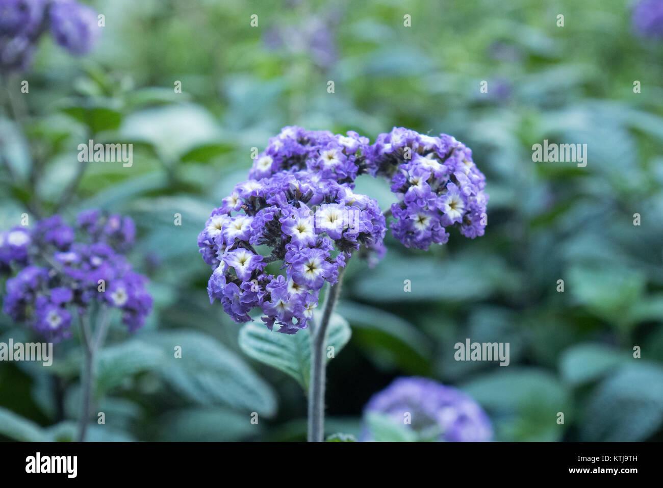 sydney flower show in the royal botanic garden - Stock Image
