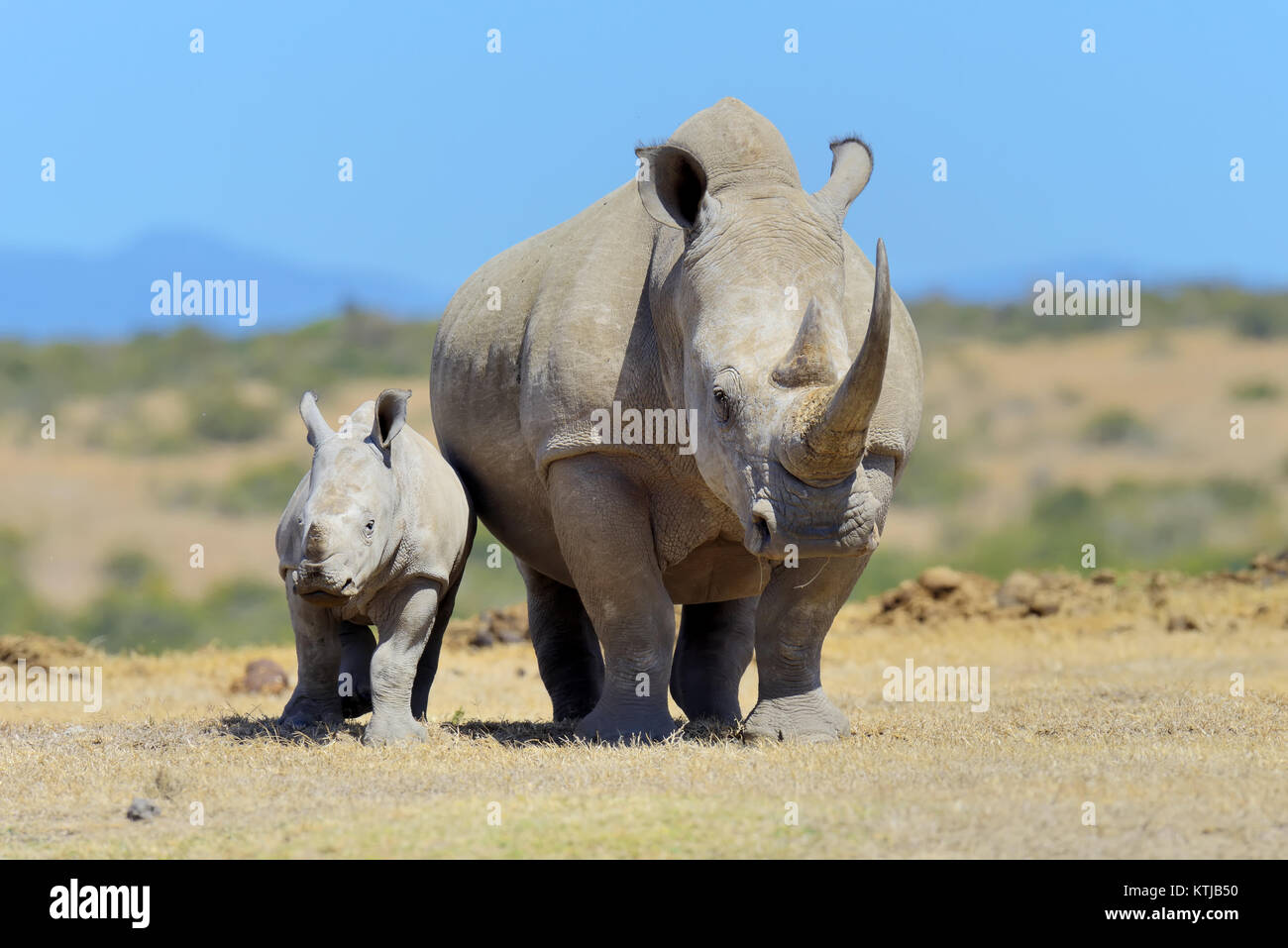 African white rhino, National park of Kenya, Africa - Stock Image