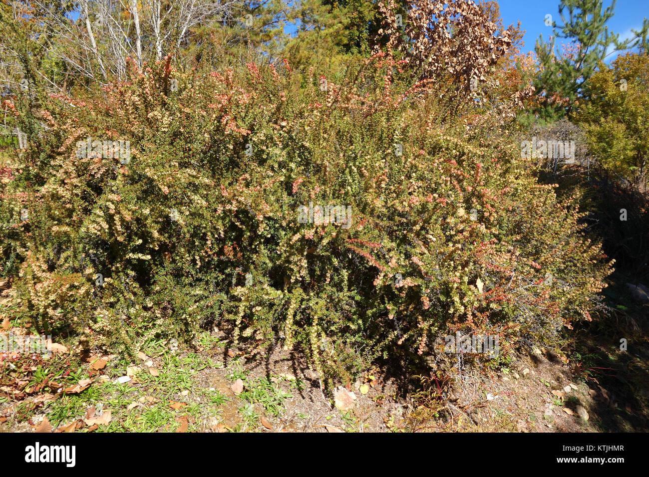 berberis wilsoniae quarryhill botanical garden dsc03667 - Quarryhill Botanical Garden