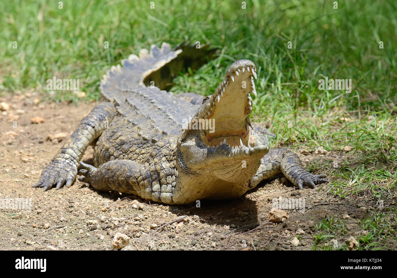 Crocodile in river. National park of Africa - Stock Image