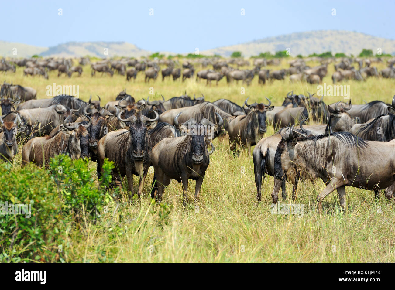 Wildebeest in savannah, National park of Kenya, Africa - Stock Image