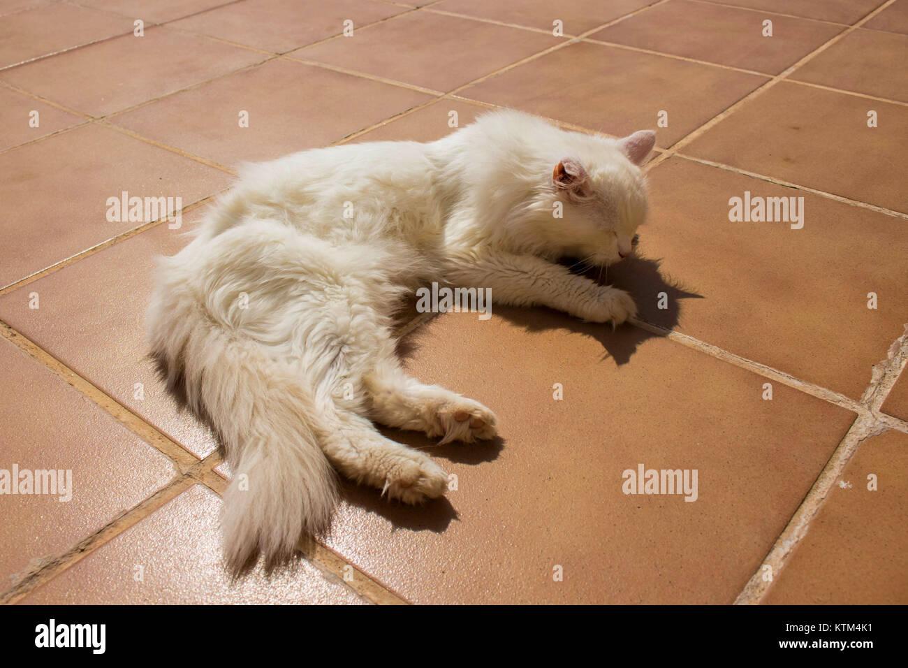 Young Persian Cat Kitten Stock Photos Young Persian Cat Kitten