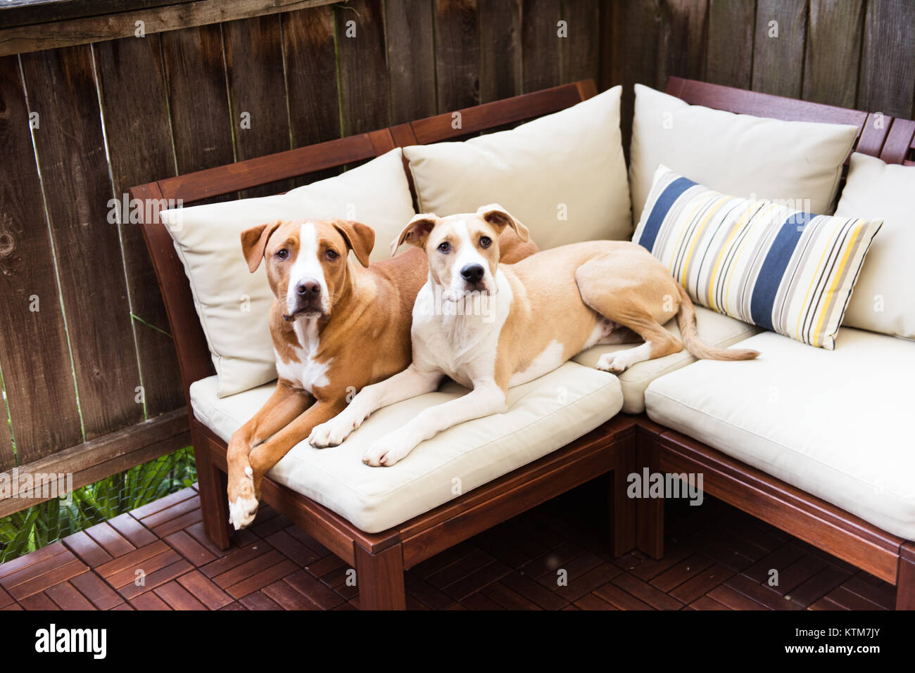 Two Young Dogs Relaxing on Outdoor Furniture - Stock Image - Outdoor Furniture Stock Photos & Outdoor Furniture Stock Images - Alamy