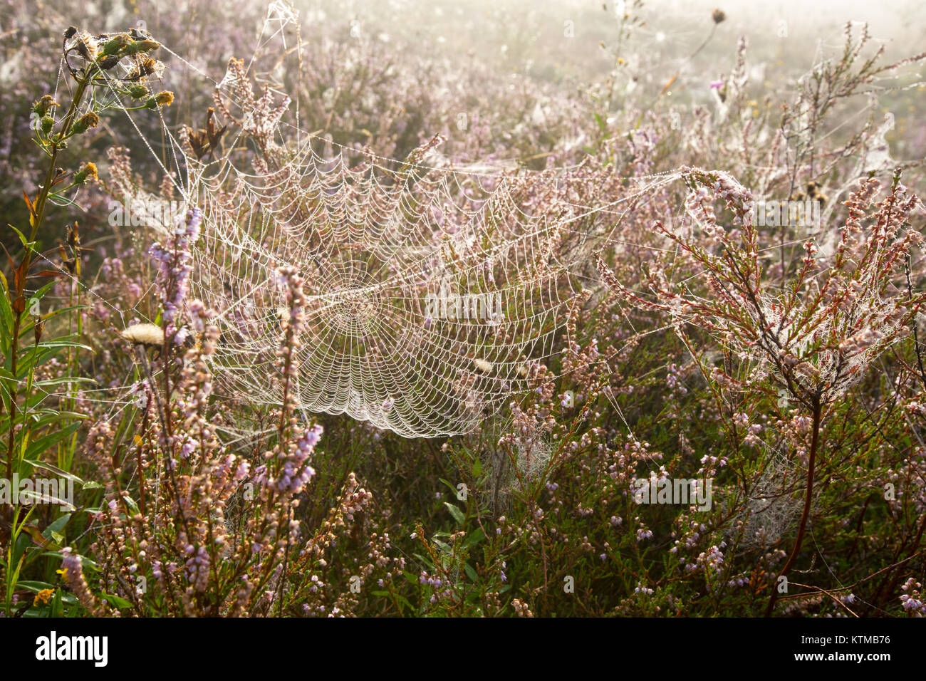 Early misty morning dew drops on wild mountain grassy meadow with wild lilac heather flowers and spider web. Stock Photo