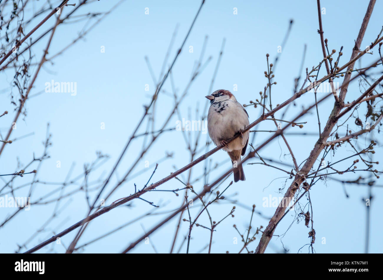 Male house sparrow, Passer domesticus, sat on a tree branch in Volkspark am Weinbergsweg, Berlin, Germany - Stock Image