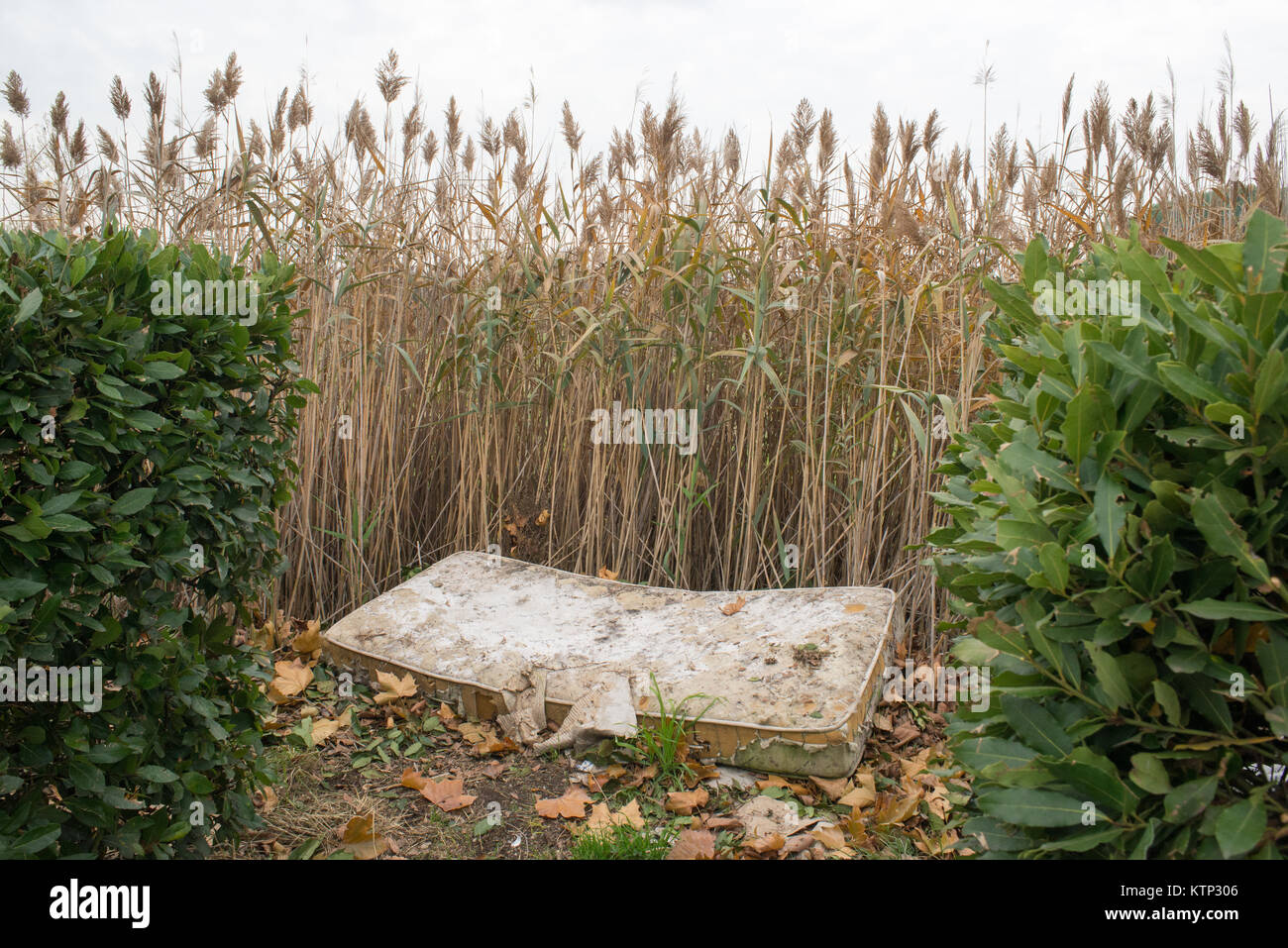 Front view of an old abandoned mattress as waste in a reed thicket on a gray day - Stock Image