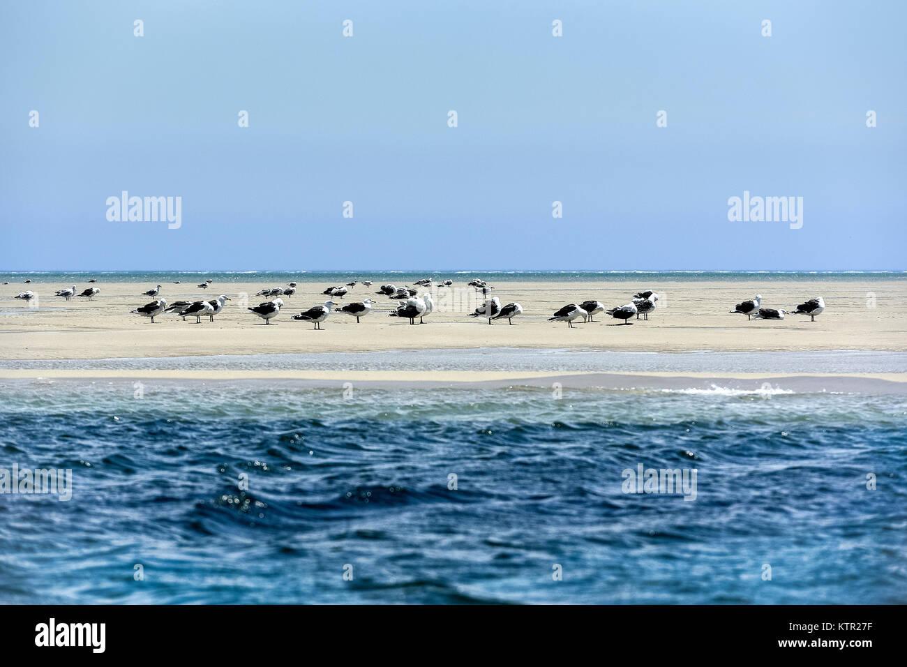 Group of seagulls on a sandbar, Cape Cod, Massachusetts, USA. - Stock Image